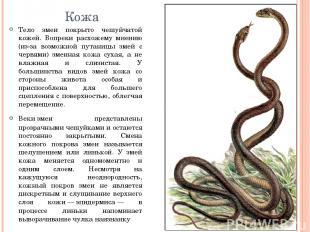 Кожа Тело змеи покрыто чешуйчатой кожей. Вопреки расхожему мнению (из-за возможн