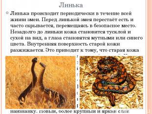 Линька Линька происходит периодически в течение всей жизни змеи. Перед линькой з