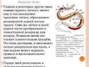 Внутренние органы Гадюки и некоторые другие змеи, помимо правого лёгкого, имеют