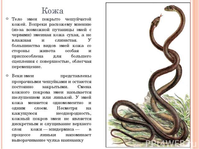 Кожа Тело змеи покрыто чешуйчатой кожей. Вопреки расхожему мнению (из-за возможной путаницы змей с червями) змеиная кожа сухая, а не влажная и слизистая. У большинства видов змей кожа со стороны живота особая и приспособлена для большего сцепления с…