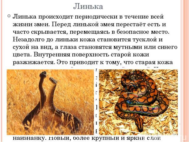 Линька Линька происходит периодически в течение всей жизни змеи. Перед линькой змея перестаёт есть и часто скрывается, перемещаясь в безопасное место. Незадолго до линьки кожа становится тусклой и сухой на вид, а глаза становятся мутными или синего …