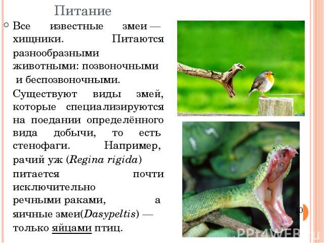 Питание Все известные змеи—хищники. Питаются разнообразными животными:позвоночнымиибеспозвоночными. Существуют виды змей, которые специализируются на поедании определённого вида добычи, то естьстенофаги. Например,рачий уж(Regina rigida) пита…