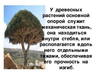 У древесных растений основной опорой служит механическая ткань, она находиться в