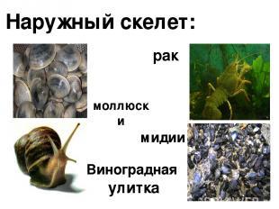 Наружный скелет: моллюски Виноградная улитка рак мидии