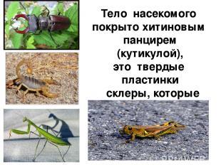 Тело насекомого покрыто хитиновым панцирем (кутикулой), это твердые пластинки ск