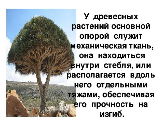 У древесных растений основной опорой служит механическая ткань, она находиться внутри стебля, или располагается вдоль него отдельными тяжами, обеспечивая его прочность на изгиб.