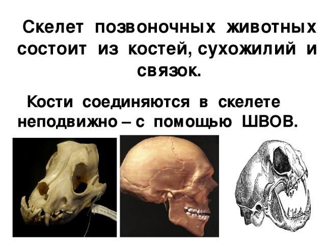 Скелет позвоночных животных состоит из костей, сухожилий и связок. Кости соединяются в скелете неподвижно – с помощью ШВОВ.