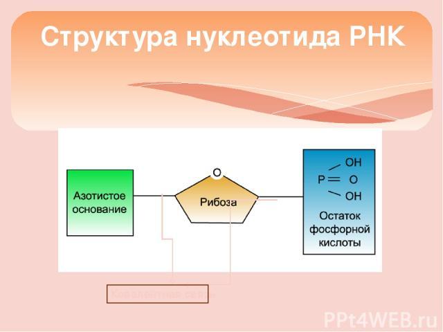Структура нуклеотида РНК Ковалентная связь