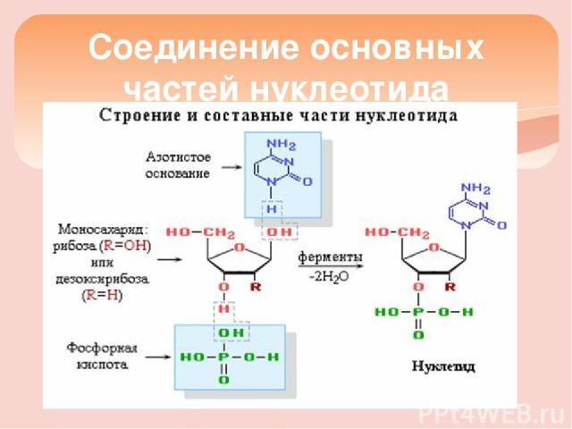 Соединение основных частей нуклеотида