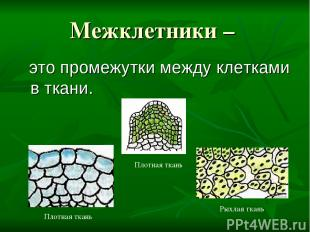 Межклетники – это промежутки между клетками в ткани. Плотная ткань Плотная ткань