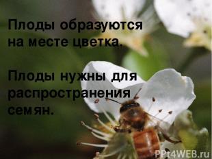 Плоды образуются на месте цветка. Плоды нужны для распространения семян.
