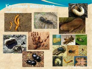 Крупные животные почвы