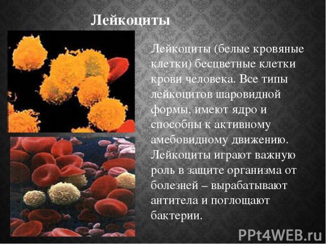 Лейкоциты Лейкоциты (белые кровяные клетки) бесцветные клетки крови человека. Все типы лейкоцитов шаровидной формы, имеют ядро и способны к активному амебовидному движению. Лейкоциты играют важную роль в защите организма от болезней – вырабатывают а…