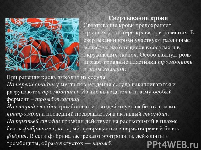 Свертывание крови При ранении кровь выходит из сосуда. На первой стадии у места повреждения сосуда накапливаются и разрушаются тромбоциты. Из них выводится в плазму особый фермент – тромбопластин. На второй стадии тромбопластин воздействует на белок…