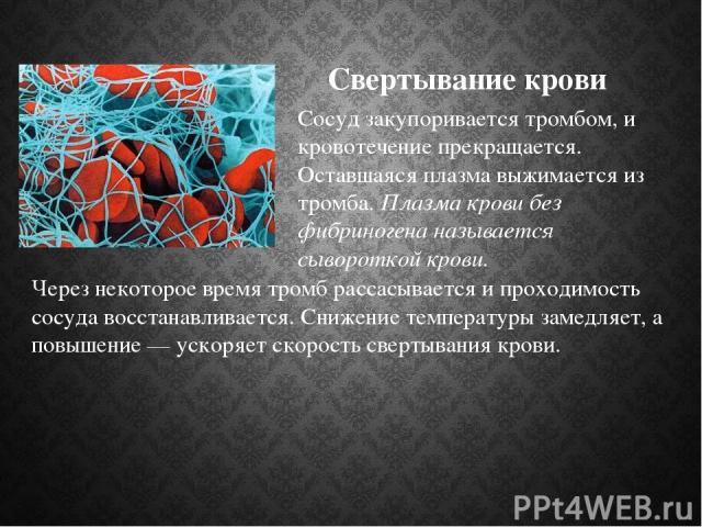 Свертывание крови Через некоторое время тромб рассасывается и проходимость сосуда восстанавливается. Снижение температуры замедляет, а повышение — ускоряет скорость свертывания крови. Сосуд закупоривается тромбом, и кровотечение прекращается. Оставш…