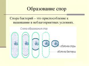 Образование спор Спора бактерий – это приспособление к выживанию в неблагоприятн