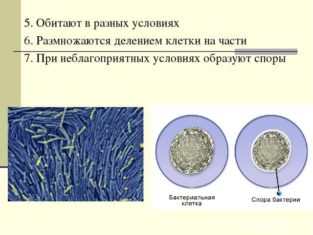 5. Обитают в разных условиях 6. Размножаются делением клетки на части 7. При неблагоприятных условиях образуют споры
