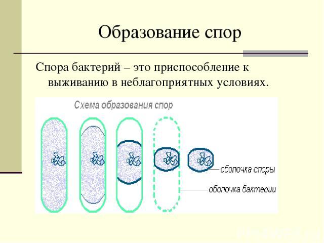 Образование спор Спора бактерий – это приспособление к выживанию в неблагоприятных условиях.