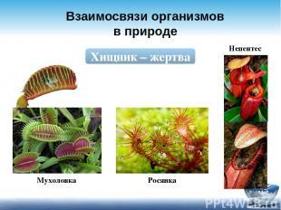 Взаимосвязи организмов в природе Хищник – жертва Мухоловка Росянка Непентес