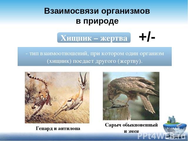 Взаимосвязи организмов в природе Хищник – жертва - тип взаимоотношений, при котором один организм (хищник) поедает другого (жертву). +/- Сарыч обыкновенный и змея Гепард и антилопа
