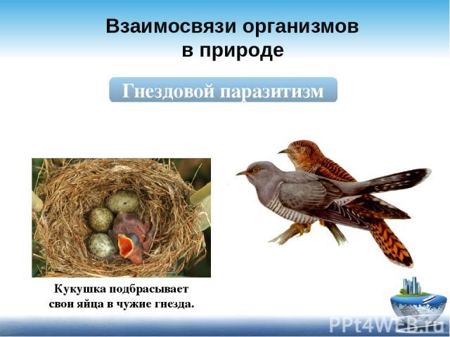 Взаимосвязи организмов в природе Гнездовой паразитизм Кукушка подбрасывает свои яйца в чужие гнезда.
