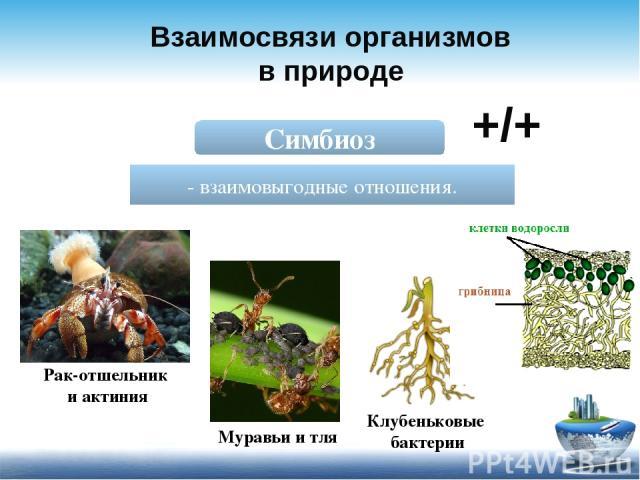 Взаимосвязи организмов в природе Симбиоз - взаимовыгодные отношения. +/+ Рак-отшельник и актиния Муравьи и тля Клубеньковые бактерии