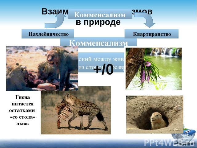 Взаимосвязи организмов в природе Комменсализм - тип взаимоотношений между животными, которые полезны для одной из сторон и безвредны для другой. Комменсализм Нахлебничество Квартиранство +/0 Гиена питается остатками «со стола» льва.