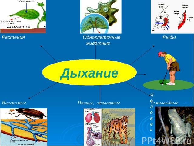 Растения Одноклеточные Рыбы животные Человек Насекомые Птицы, животные Земноводные Дыхание