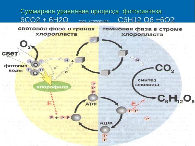 Суммарное уравнение процесса фотосинтеза 6СО2 + 6Н2О свет, хлорофилл С6Н12 О6 +6О2