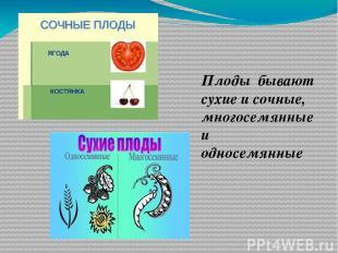 Плоды бывают сухие и сочные, многосемянные и односемянные