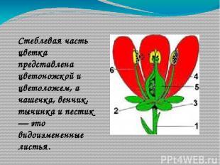 Стеблевая часть цветка представлена цветоножкой и цветоложем, а чашечка, венчик,