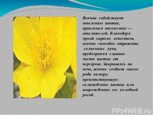 Венчик содействует опылению цветка, привлекая насекомых — опылителей. Благодаря яркой окраске лепестков, венчик способен отражать солнечные лучи, предохраняя главные части цветка от перегрева. Закрываясь на ночь, венчик создает своего рода камеру, п…