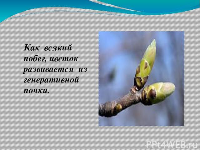 Как всякий побег, цветок развивается из генеративной почки.