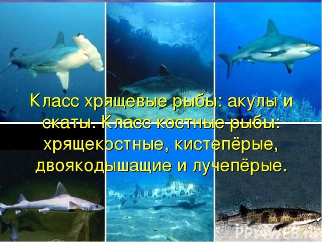 Класс хрящевые рыбы: акулы и скаты. Класс костные рыбы: хрящекостные, кистепёрые, двоякодышащие и лучепёрые.
