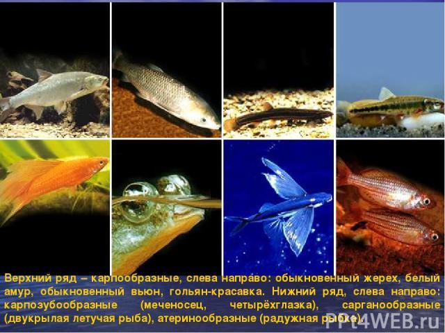 Верхний ряд – карпообразные, слева направо: обыкновенный жерех, белый амур, обыкновенный вьюн, гольян-красавка. Нижний ряд, слева направо: карпозубообразные (меченосец, четырёхглазка), сарганообразные (двукрылая летучая рыба), атеринообразные (радуж…