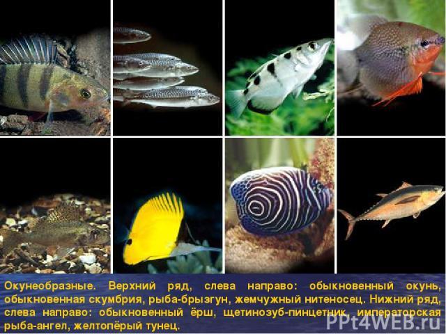 Окунеобразные. Верхний ряд, слева направо: обыкновенный окунь, обыкновенная скумбрия, рыба-брызгун, жемчужный нитеносец. Нижний ряд, слева направо: обыкновенный ёрш, щетинозуб-пинцетник, императорская рыба-ангел, желтопёрый тунец.