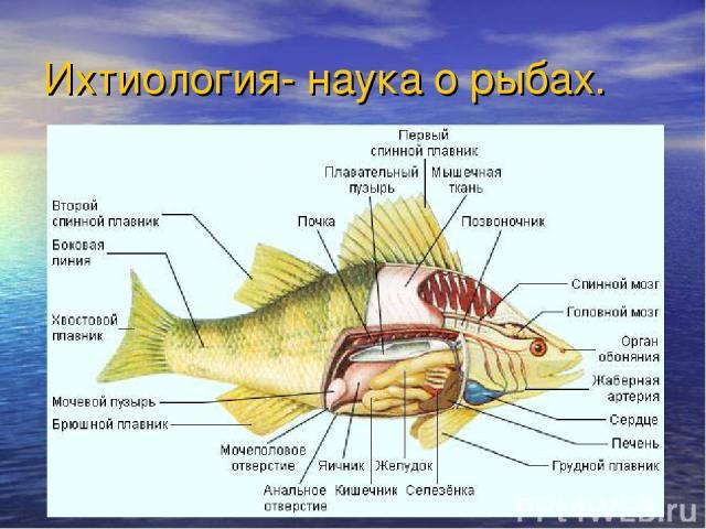 Ихтиология- наука о рыбах.