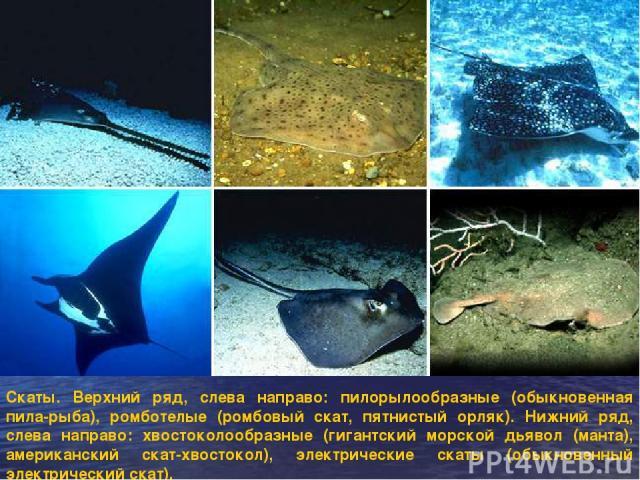 Скаты. Верхний ряд, слева направо: пилорылообразные (обыкновенная пила-рыба), ромботелые (ромбовый скат, пятнистый орляк). Нижний ряд, слева направо: хвостоколообразные (гигантский морской дьявол (манта), американский скат-хвостокол), электрические …