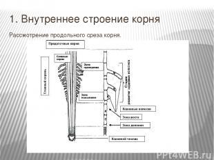 1. Внутреннее строение корня Рассмотрение продольного среза корня.