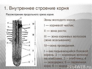 1. Внутреннее строение корня Зоны молодого корня: I — корневой чехлик; II — зона