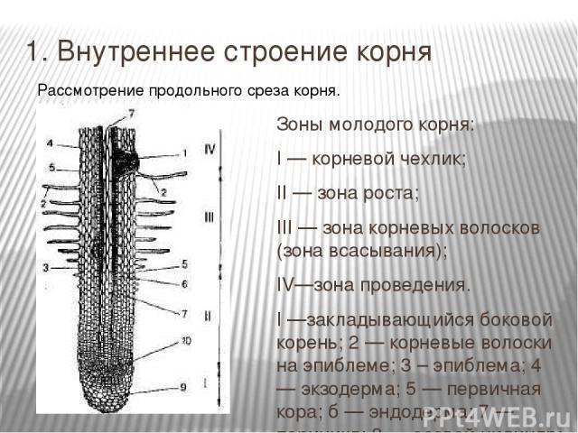 1. Внутреннее строение корня Зоны молодого корня: I — корневой чехлик; II — зона роста; III — зона корневых волосков (зона всасывания); IV—зона проведения. I —закладывающийся боковой корень; 2 — корневые волоски на эпиблеме; 3 – эпиблема; 4 — экзоде…