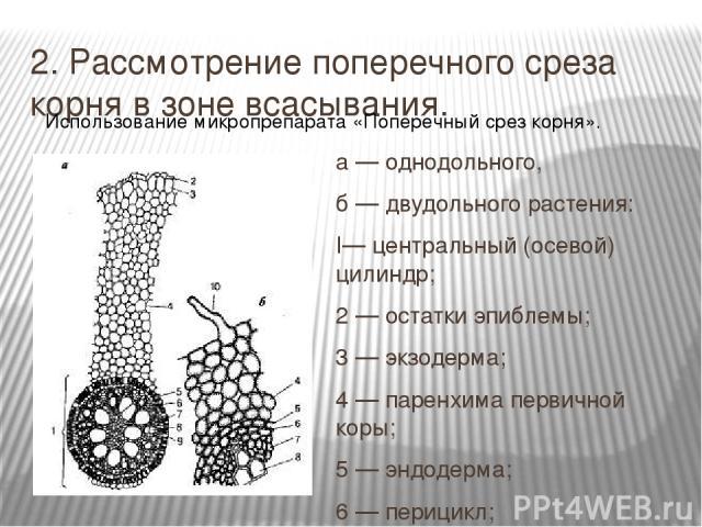 2. Рассмотрение поперечного среза корня в зоне всасывания. а — однодольного, б — двудольного растения: I— центральный (осевой) цилиндр; 2 — остатки эпиблемы; 3 — экзодерма; 4 — паренхима первичной коры; 5 — эндодерма; 6 — перицикл; 7 — флоэма; 8 — к…
