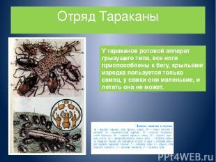 Отряд Тараканы У тараканов ротовой аппарат грызущего типа, все ноги приспособлен