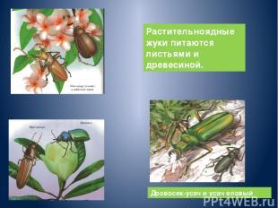 Дровосек-усач и усач еловый Растительноядные жуки питаются листьями и древесиной