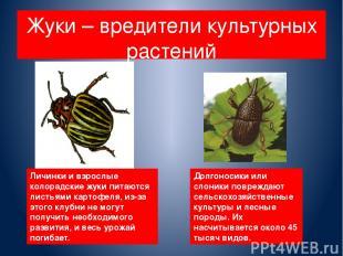 Жуки – вредители культурных растений Личинки и взрослые колорадские жуки питаютс