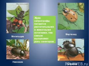 Жуки сапротрофы питаются растительными и животными остатками, тем самым выполняю