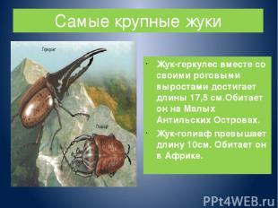 Самые крупные жуки Жук-геркулес вместе со своими роговыми выростами достигает дл