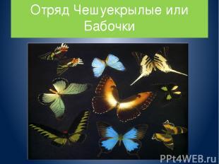 Отряд Чешуекрылые или Бабочки