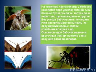 На теменной части головы у бабочек находится пара усиков( антенн). Они бывают бу
