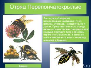 Отряд Перепончатокрылые Этот отряд объединяет разнообразных насекомых: пчел, шме